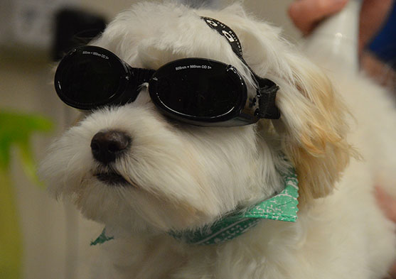 Laser-Therapy-for-dogs-greensboro-nc