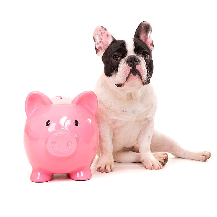 frenchie with pink piggy bank 1x1
