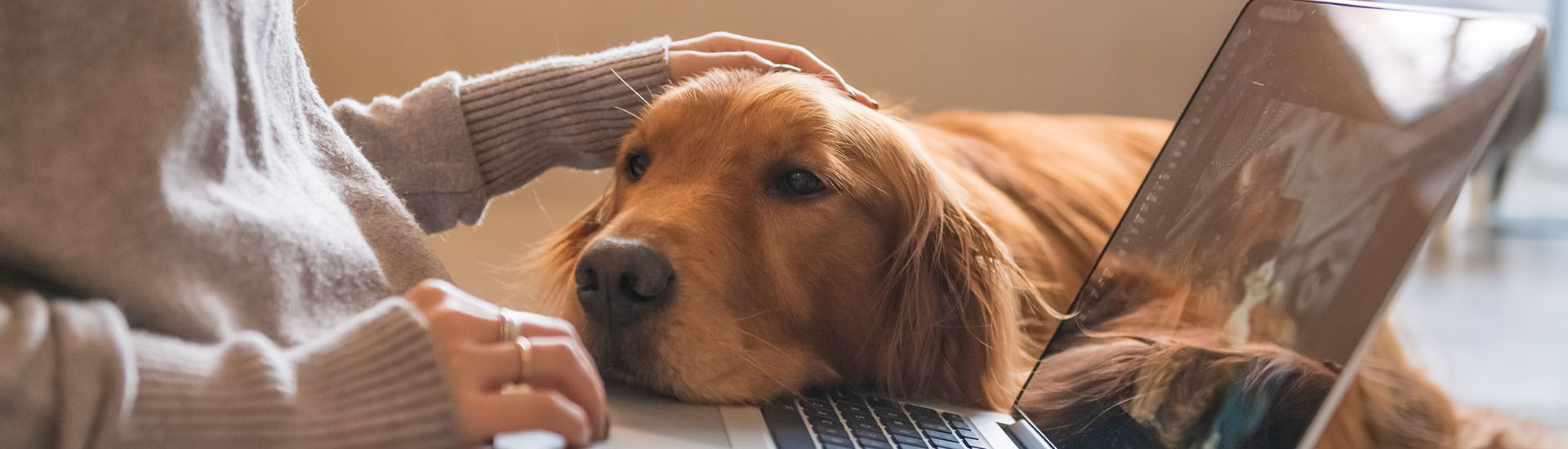 The Golden Retriever Dog works with the owner.