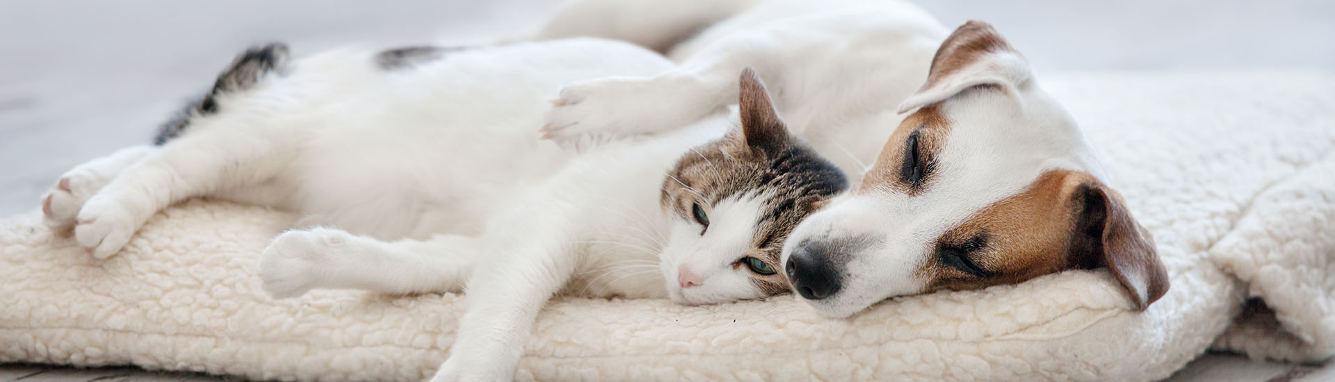 JRT and Cat sleeping on bed-small